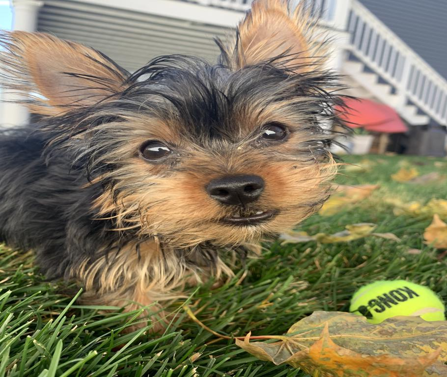 Dog Owners Guide to Home Insurance - Yorkie Photo
